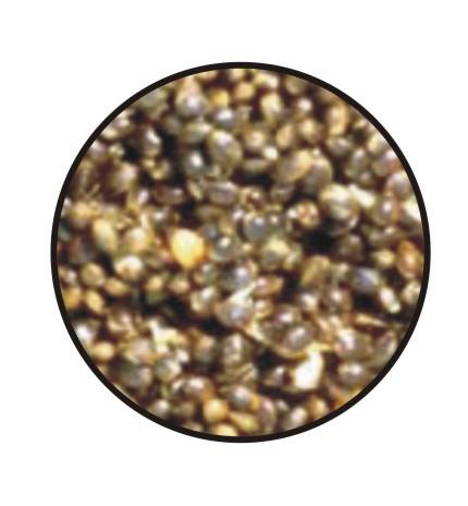 Canepa boabe 1